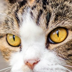 Vaccination for Cats