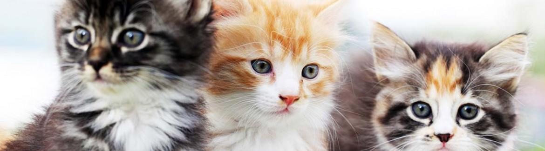 kittens family spay neuter vaccines