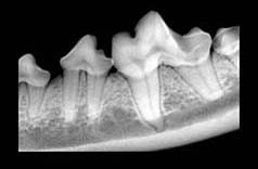 periodontal disease, x-ray, digital x-ray